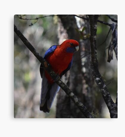 Crimson Rosella race ellegans Canvas Print