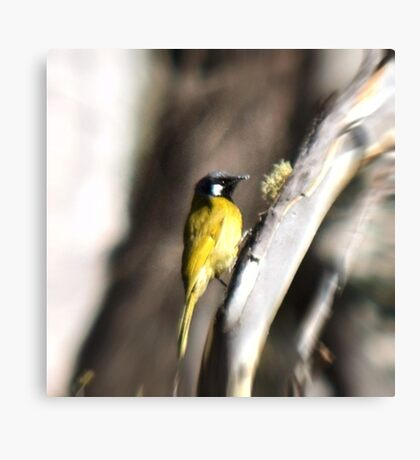 White-eared Honeyeater Canvas Print