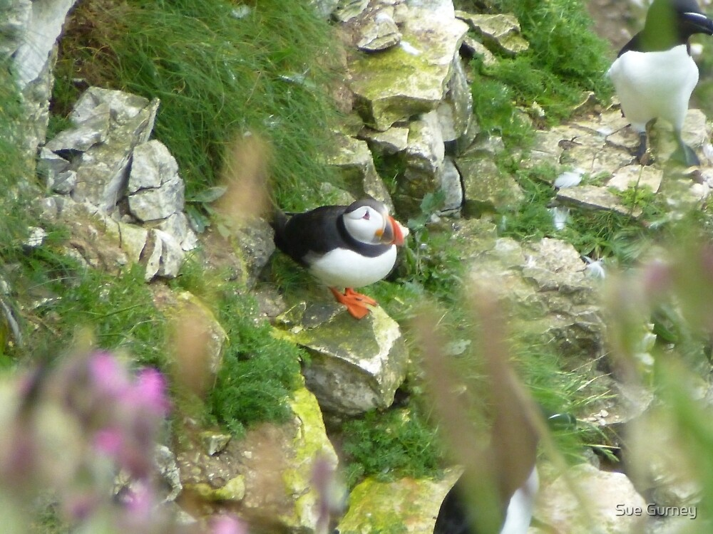Puffin at Bempton Cliffs by Sue Gurney