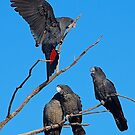 Red-tailed cockatoo family living life by margowen