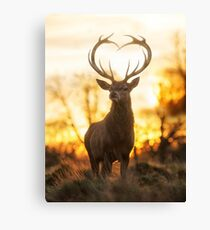 Stag With the Heart Shaped Antlers Canvas Print