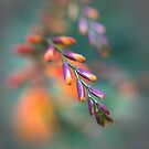 Crocosmia (Montbretia) by OpalFire