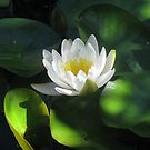 Water lily by aila