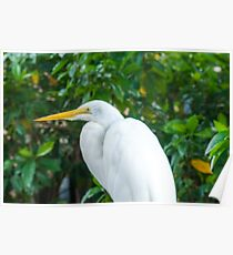 Egret Great Poster
