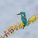 Kingfisher by MikeSquires
