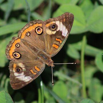 Buckeye Butterfly by Shadowfudo