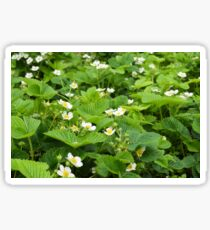 strawberry blossoms in the garden Sticker