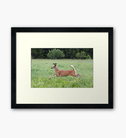 White-tailed deer in flight Framed Print