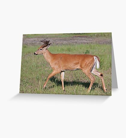 White-tailed deer with velvet antlers in spring Greeting Card