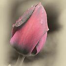 Tears On A Misty Tulip by Robert Kelch, M.D.