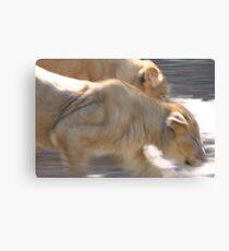 Panthera leo Canvas Print
