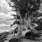 1500 Year Old Tree by ilovetheunknown