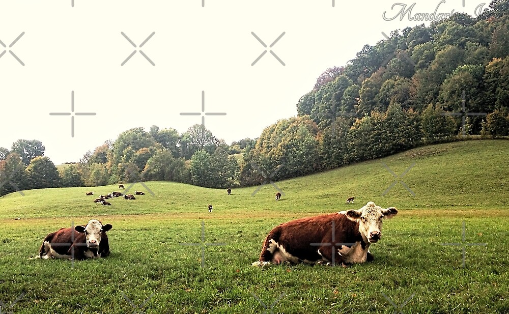 Vermont Cows by mandarinjean