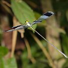 Blue-winged helicopter damselfly in flight by hummingbirds