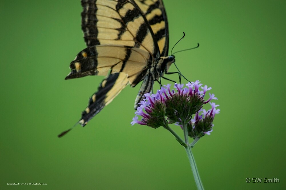 Papilio Glaucus Eastern Tiger Swallowtail Butterfly On Verbena Bonariensis Purpletop Vervain - Pinelawn Memorial Park And Garden Mausoleums | Farmingdale, New York by © Sophie W. Smith
