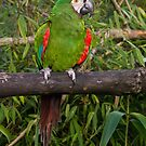 Ginger footed Parrot by M S Photography/Art