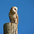 Barn Owl by M S Photography/Art