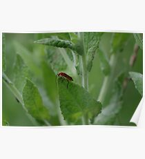 Red Soldier Beetle  Poster