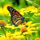 BEAUTIFUL MONARCH BUTTERFLY  & FLOWERS by MsLiz