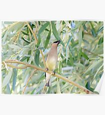 Cedar Waxwing, Finger Lakes, New York Poster