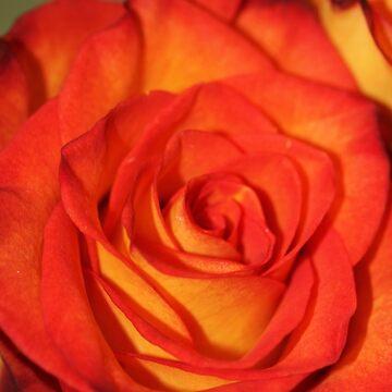 Rose by chunkymonkey