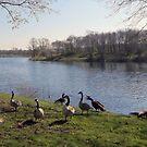Canada geese at Kemnader lake, Germany by Heidi Mooney-Hill