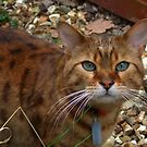 A Bengal Cat by AnnDixon