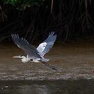 Cocoi Heron by Paul Wolf
