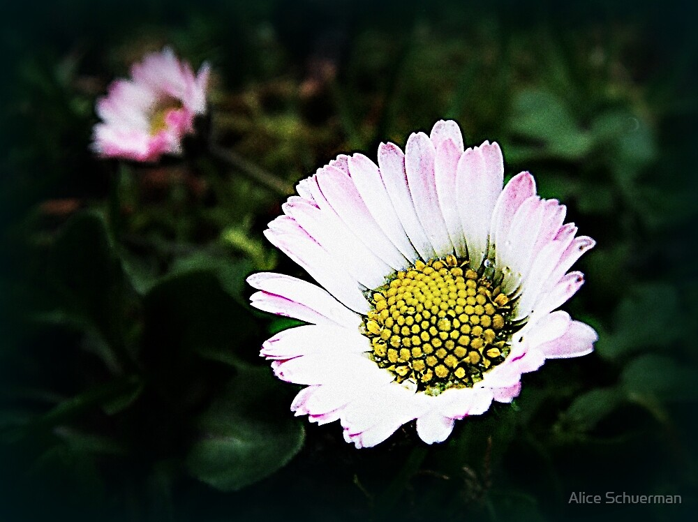 Lawn Daisies by Alice Schuerman
