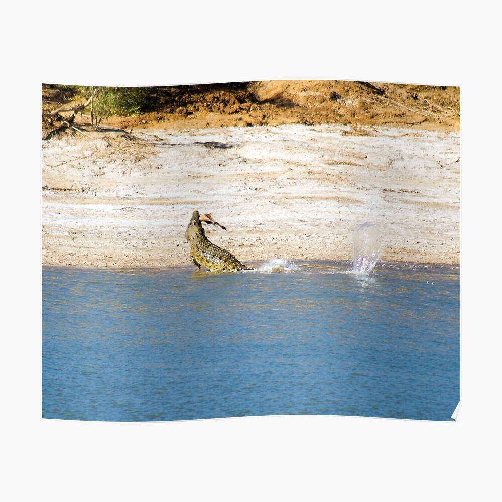 Saltwater Crocodile Eating 3/6 Poster