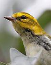 Black-throated Green Warbler by Dennis Cheeseman