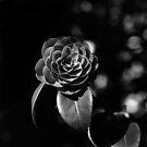 Camellia Japonica by Rodney Johnson