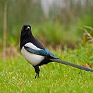 Magpie by M S Photography/Art