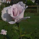 Pink Roses by Mindseyephoto