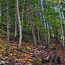 Mt Revelstoke Forest Trail II by Skye Ryan-Evans