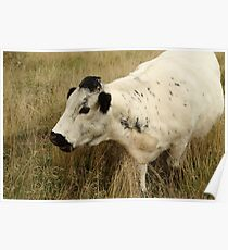 White Cow In Long Grass Poster