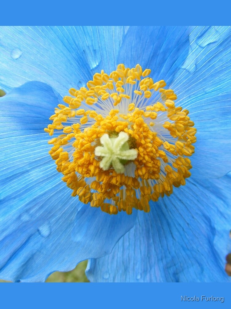 BLUE POPPY FLOWER PETALS by nicolafurlong