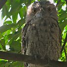 tawny frogmouth by Zefira