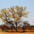 SIGNS OF SPRING - THE KNOB THORN - Acacia nigrescens - Knoppies doring by Magriet Meintjes
