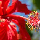 Red Hibiscus by Darren Freak