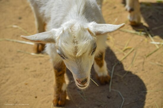 Young Pygmy Goat   Center Moriches, New York by © Sophie W. Smith