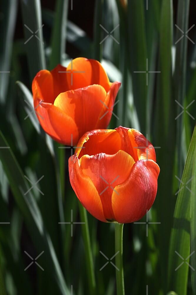 Tulip Duo by Joy Watson
