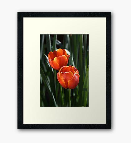 Tulip Duo Framed Print