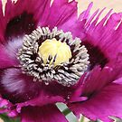 PURPLE POPPY FLOWER WITH FRINGED PETALS by Nicola Furlong