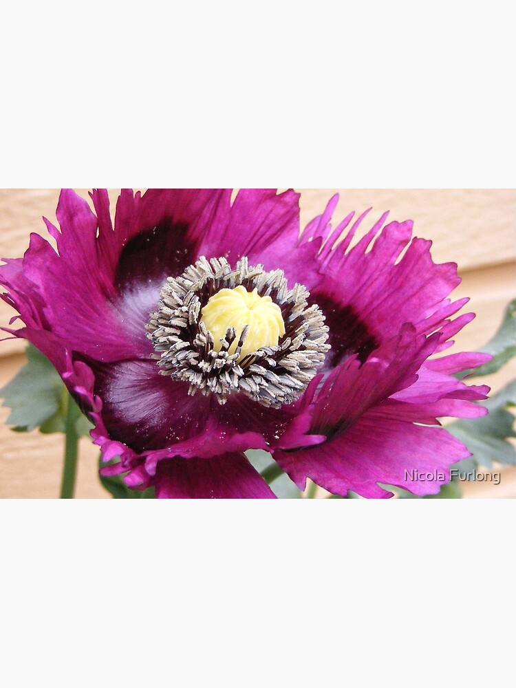 PURPLE POPPY FLOWER WITH FRINGED PETALS by nicolafurlong