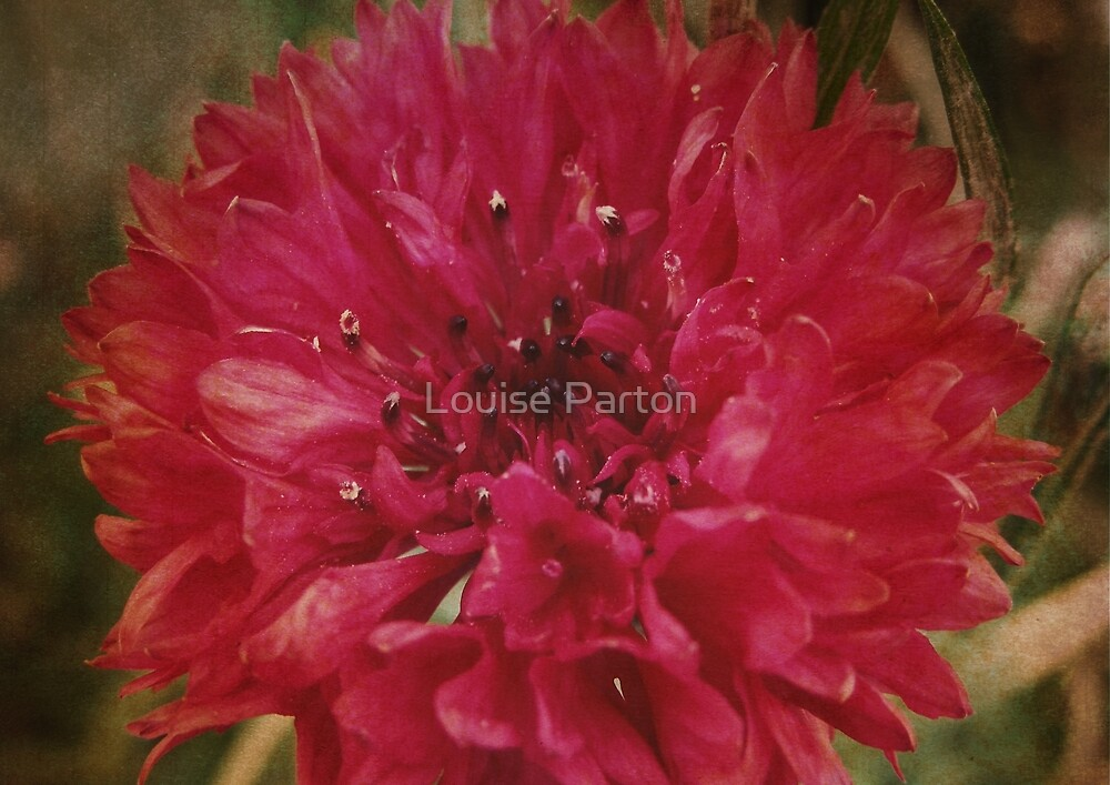 Once Bloomed by Louise Parton