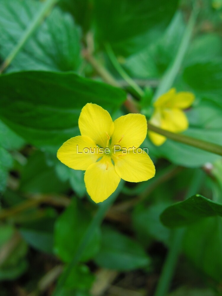 Yellow Pimpernel by Louise Parton