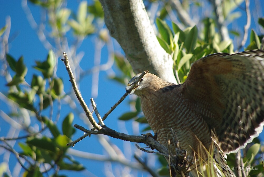 Cooper's Hawk by Karen Checca