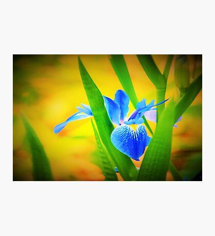Blue flag Photographic Print