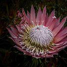 Protea by Josie Jackson